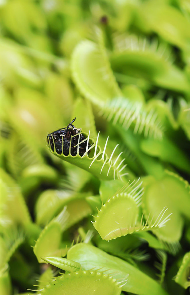 Venus_Fly_Trap_Macro_Photography_TheApertureClub